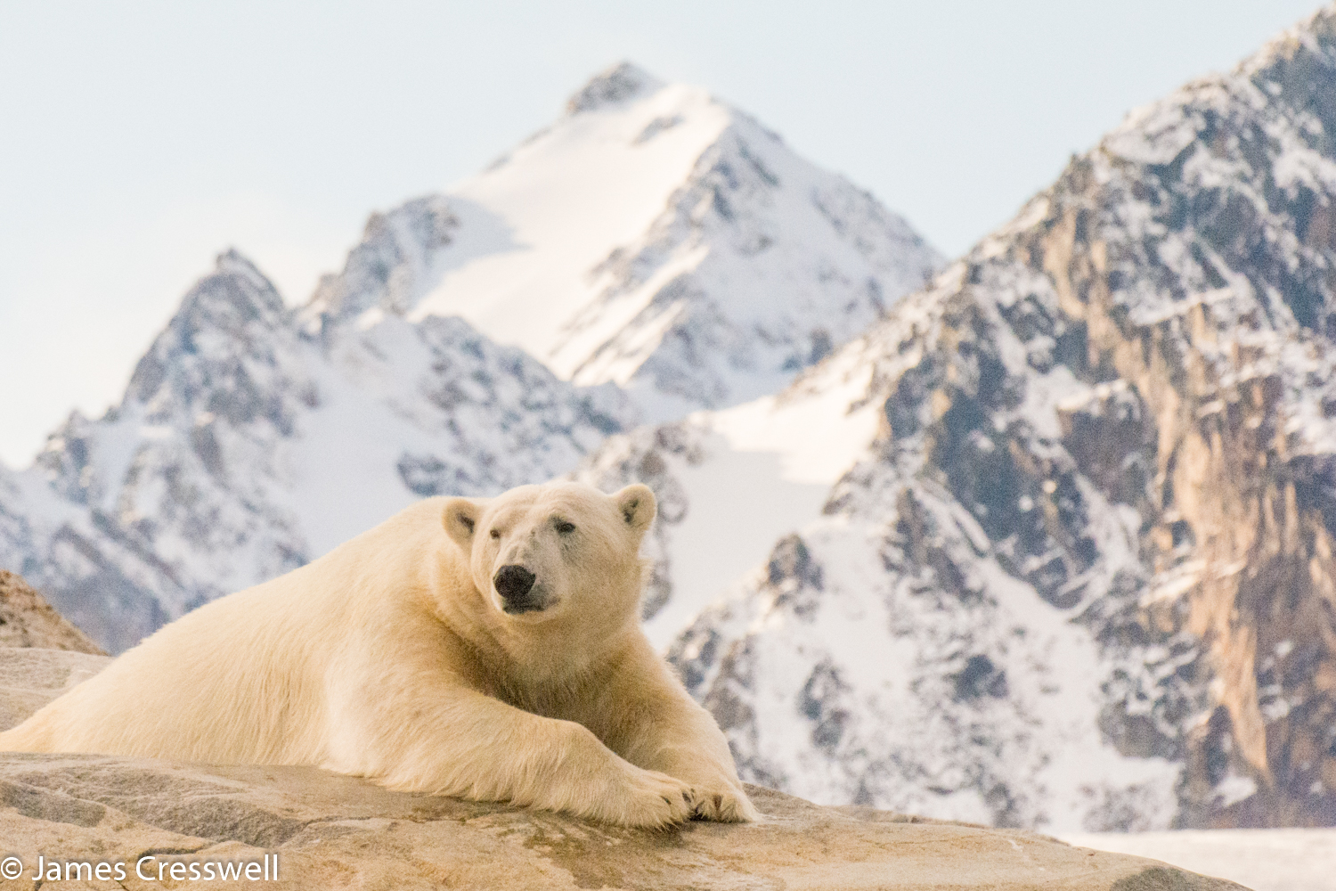 A photograph of a polar bear taken in Svalbard on a PolarWorld Travel placed cruise